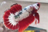 Ikan Cupang Plakat Hellboy Copper