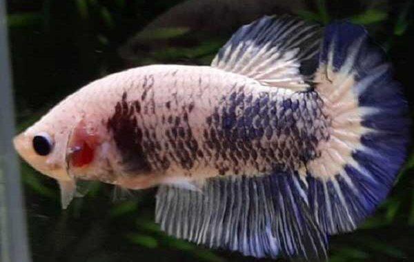 Jenis ikan cupang marble fancy