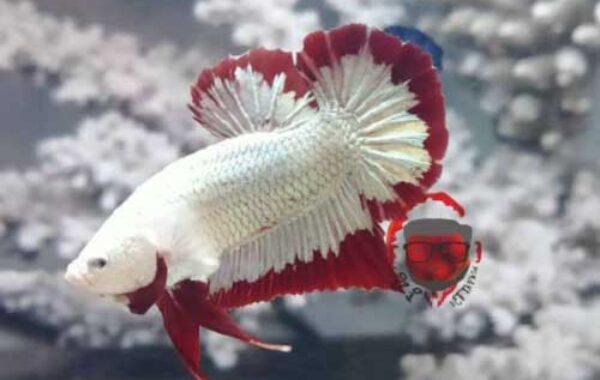 Jenis Ikan Cupang Plakat Red Dragon