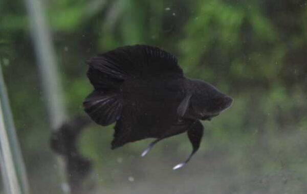 Double Tail Super Black