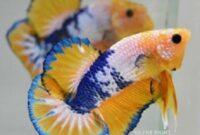 Ikan Cupang Plakat Yellow Fancy