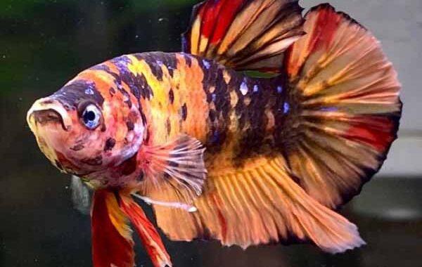 Jenis Plakat Nemo Tiger