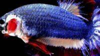 Jenis Ikan Cupang Yang Paling Mahal