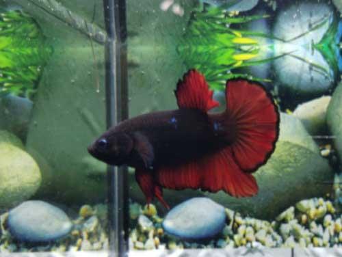 Ikan Cupang Avatar Black Vampire 220 Tokopedia