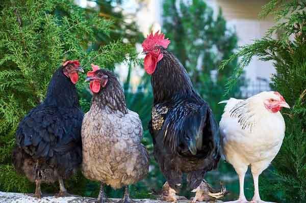 Tips Beternak Ayam Kampung