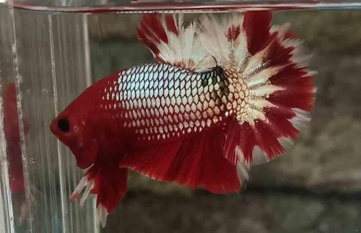Ciri-Ciri Ikan Cupang Cooper