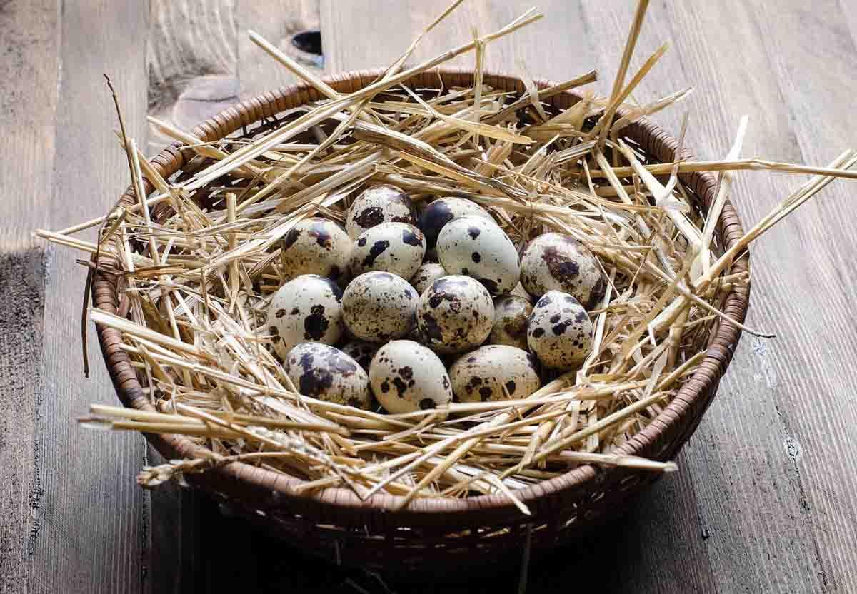 Telur Hasil Usaha Ternak Burung Puyuh modal 300 ribu